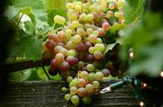ענבים: פרי אהבה אקזוטי