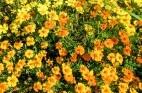 פרחי באך: סוגי תמציות